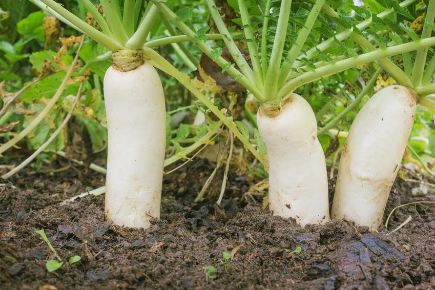 Rzodkiewka, a dokładniej biała rzodkiew w ogrodzie w ziemi oraz jej odmiany i zasady uprawy krok po kroku