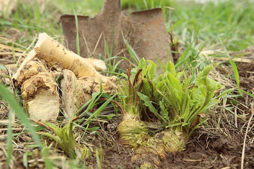 Chrzan pospolity czy też chrzan zwyczajny oraz korzeń chrzanu i jego zastosowanie, uprawa oraz sadzenie w ogrodzie