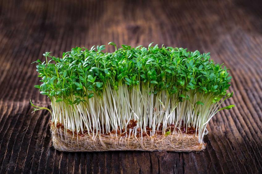 Pieprzyca siewna czy też rzeżucha ogrodowa w zielonej postaci na drewnianym stole oraz uprawa pieprzycy siewnej w domu