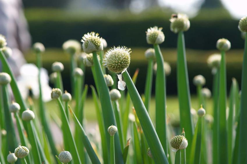 Cebula siedmiolatka, a dokładniej szczypior siedmiolatka w ogrodzie oraz jego wysiew, uprawa i pielęgnacja