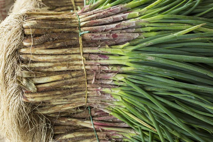 Cebula siedmiolatka po zbiorach, a także szczypior siedmiolatka w ogrodzie oraz jego wysiew i uprawa