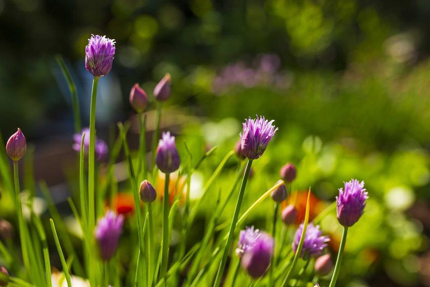Szczypiorek ogrodowy w czasie kwitnienia, a także uprawa szczypiorku krok po kroku i porady, jak sadzić szczypiorek