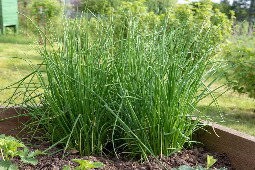 Dorodny szczypiorek ogrodowy, a także uprawa szczypiorku krok po kroku i porady, jak sadzić szczypiorek