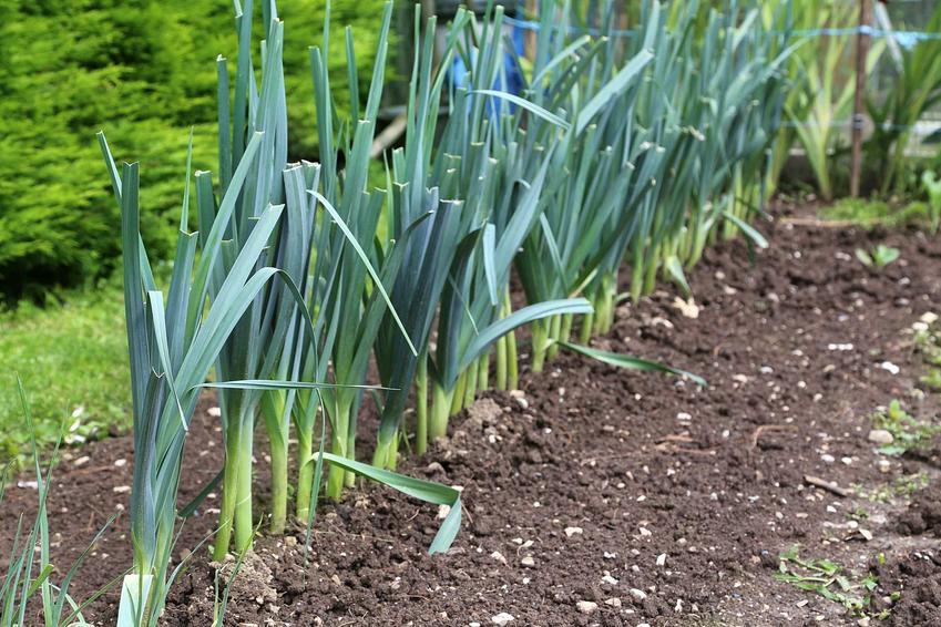 Uprawa pora w gruncie w ogrodzie, czyli sadzenie pora oraz polecane odmiany pora do uprawy w przydomowym ogródku