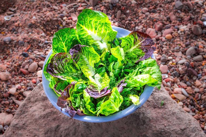 Liście sałaty rzymskiej w miseczce oraz uprawa sałaty rzymskiej czy też uprawa kapusty rzymskiej, jak również jest nazywana