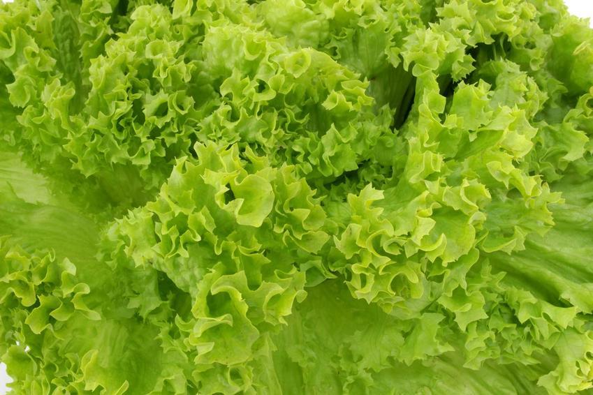 Dorodna sałata rzymska oraz uprawa sałaty rzymskiej czy też uprawa kapusty rzymskiej, jak również jest nazywana