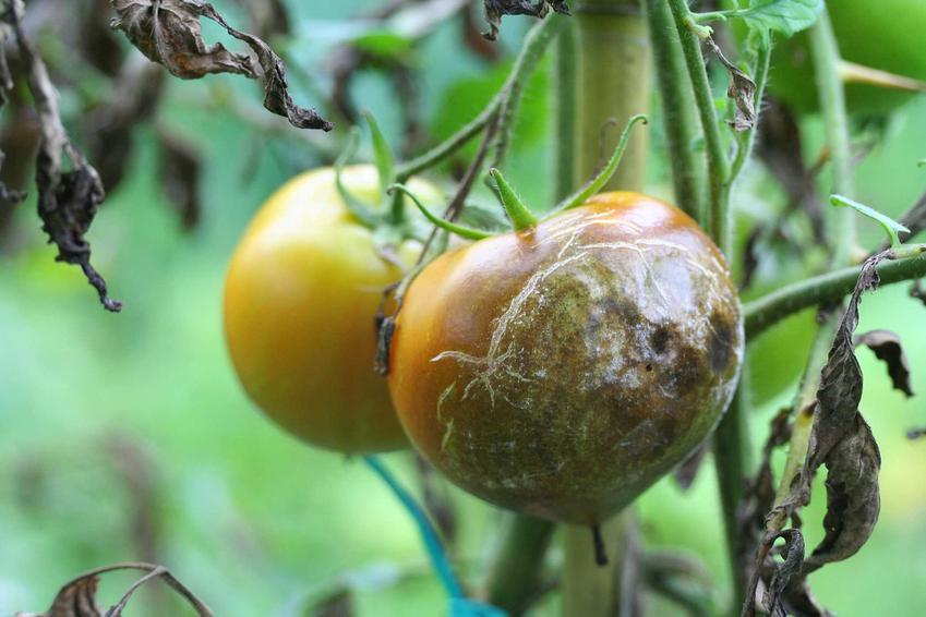 Szara pleśń pomidora oraz choroby pomidorów i innych upraw, a także zwalczanie szarej pleśni w ogrodzie