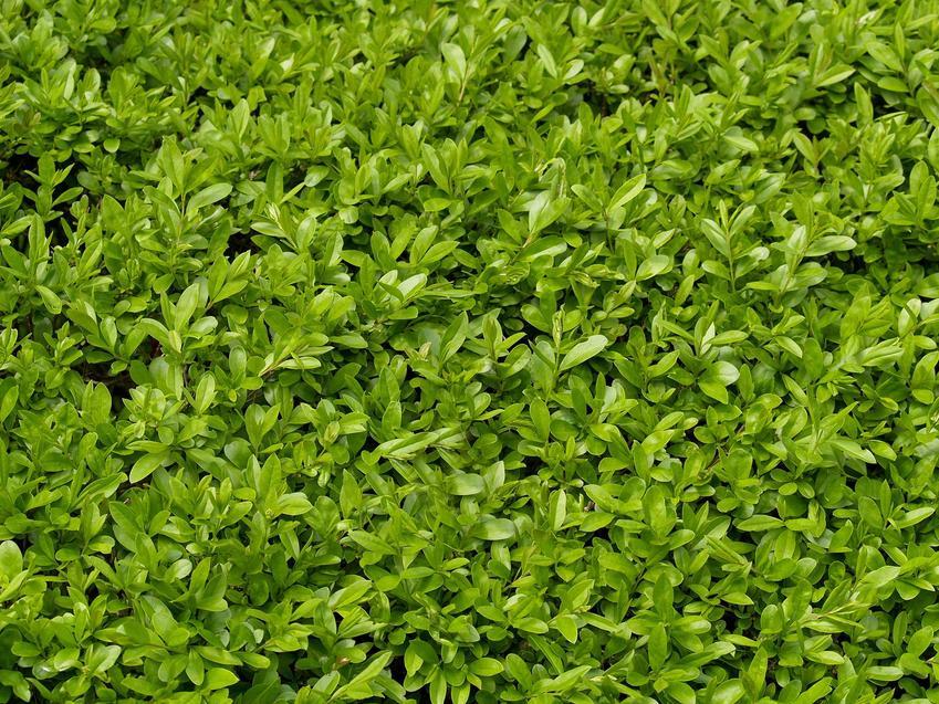 Ligustr pospolity w ogrodzie, a dokładniej żywopłot z ligustru oraz jego warunki uprawy, sadzenie, pielęgnacja i cena za sadzonki