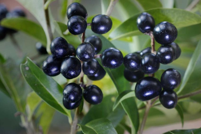 Ligustr w czasie owocowania, a także żywopłot z ligustru oraz jego  uprawa, sadzenie, pielęgnacja, odmiany i cena za sadzonki