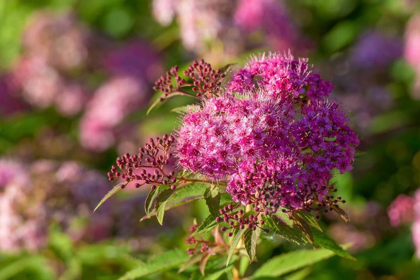 Tawuła japońska i zbliżenie na jej kwiat w czasie kwitnienia, a także pielęgnacja, sadzenie, rozmnażanie, uprawa i podlewanie