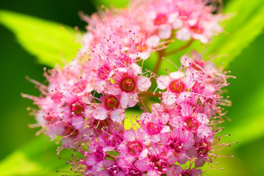 Tawuła japońska i zbliżenie na jej kwiat w czasie kwitnienia, a także sadzenie, uprawa i pielęgnacja
