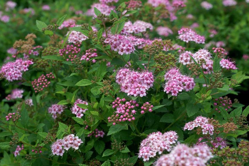 Tawuła japońska w czasie kwitnienia w ogrodzie, a także jej uprawa, cięcie i pielęgnacja oraz rozmnażanie i ochrona przed chorobami