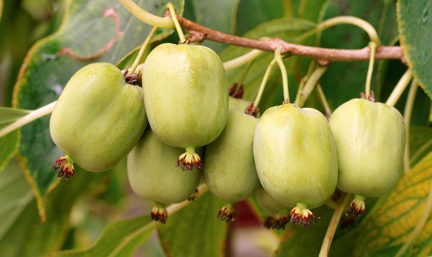 Chiński agrest na krzewie lub inaczej kiwi oraz owoc aktindii chińskiej i jego pochodzenie z Nowej Zelandii