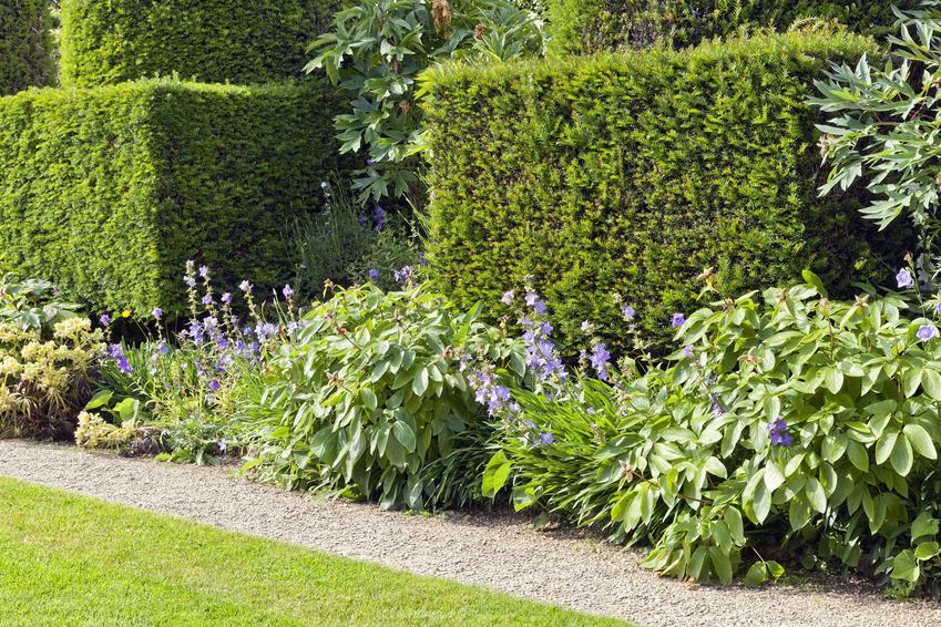 Żywopłot z krzewów cisa, czyli cis żywopłotowy w ogrodzie oraz sadzenie, pielęgnacja i uprawa cisów na żywopłot
