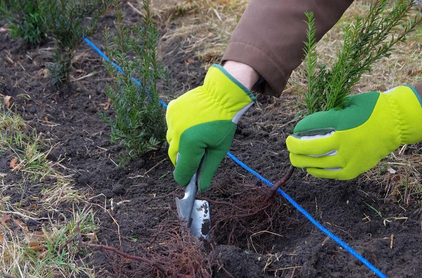 Sadzenie cisów na żywopłot, czyli żywopłot z cisa i cis żywopłotowy w ogrodzie, a także przycinanie i rozmnażanie gatunku krok po kroku