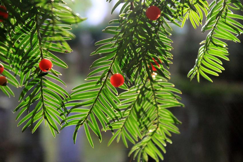 Cis japoński z łaciny taxus cuspidata w czasie owocowania krzewu oraz jego uprawa i pielęgnacja w ogrodzie