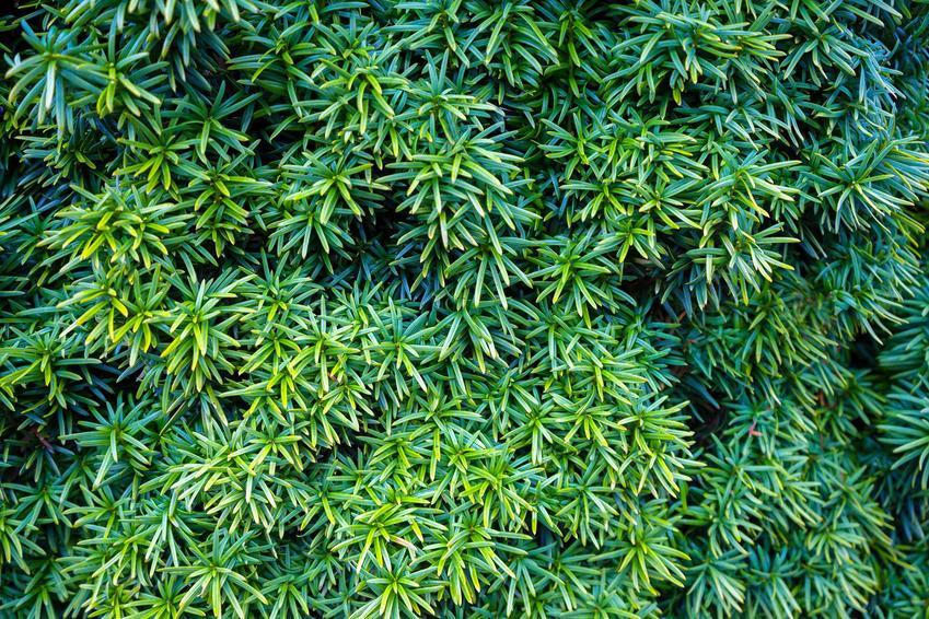Cis japoński z łaciny taxus cuspidata w formie zielonego krzewu oraz jego uprawa i pielęgnacja w ogrodzie
