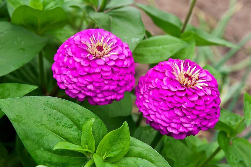 Różowa cynia wytworna z łaciny zinnia elegans jako popularna cynia ogrodowa oraz jej uprawa, rozstawa i pielęgnacja w ogrodzie
