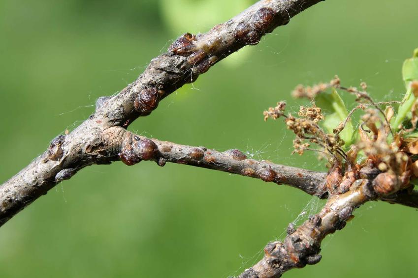 Misecznik śliwowy na roślinie, podobny do szkodników jakimi są tarczniki oraz sposoby na zwalczanie misecznika