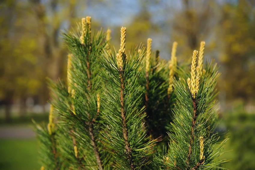 Sosna syberyjska z łaciny pinus sibirica w ogrodzie, znana również jako limba syberyjska oraz jej sadzonki i uprawa