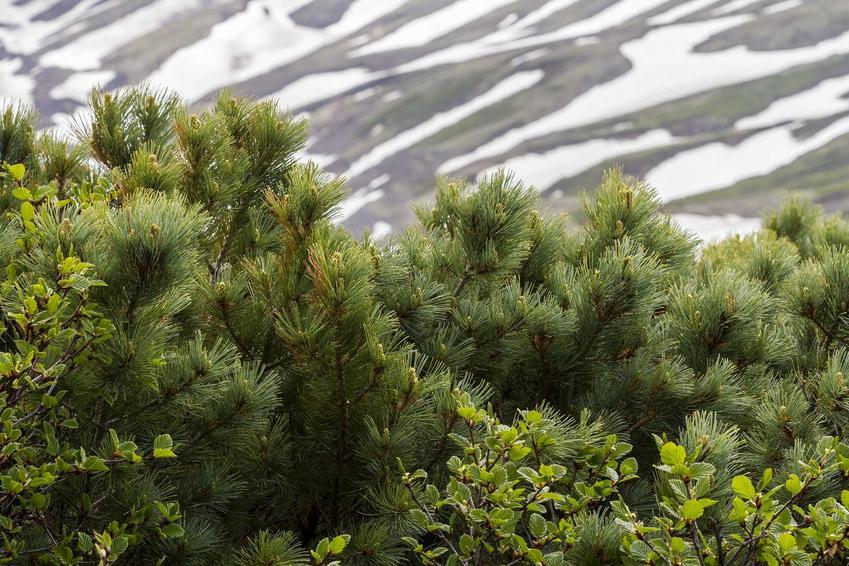 Sosna karłowata czy też sosna karłowa w górach, z łaciny Pinus pumila, zwnana także jako sosna niskopienna oraz jej uprawa