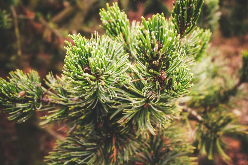 Sosna oścista czy też sosna kolczasta, z łaciny Pinus aristata jako sosna długowieczna oraz jej opis i uprawa w ogrodzie