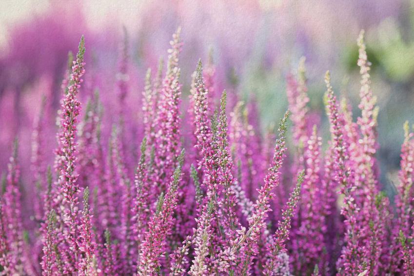Wrzosy w ogrodzie w czasie kwitnienia oraz zalecane podłoże dla wrzosów oraz sadzenie wrzosów, porady jak sadzić i ich pielęgnacja