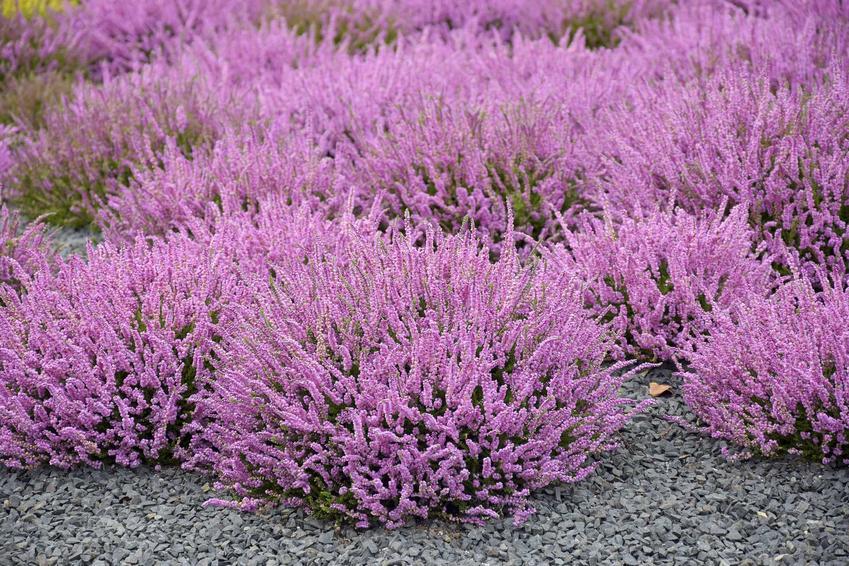 Wrzosy w ogrodzie w czasie kwitnienia oraz zalecane podłoże dla wrzosów oraz sadzenie wrzosów i ich pielęgnacja