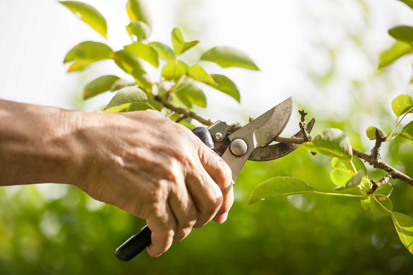 Przycinanie drzew owocowych sekatorem albo cięcie drzew owocowych czy też tak zwane obcinanie drzew owocowych krok po kroku