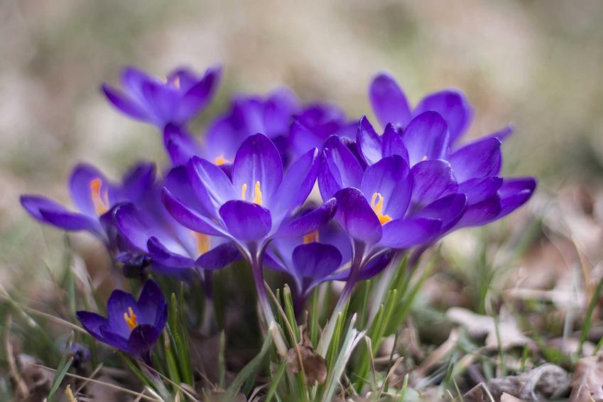 Krokusy kwitnące w ogrodzie jako byliny ogrodowe, czyli byliny kwitnące oraz byliny wieloletnie i ich uprawa, sadzenie, pielęgnacja