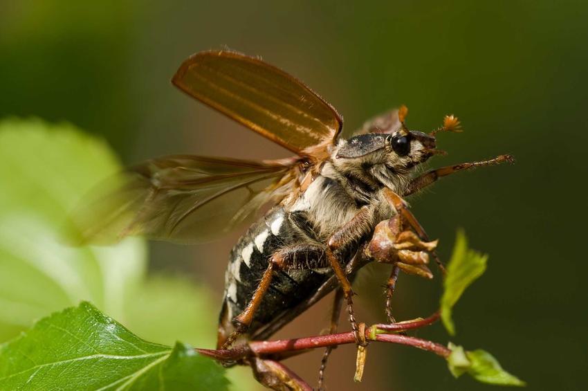 Chrząszcz majowy jako dorosły osobnik, chemiczne i domowe sposoby na zwalczanie chrząszczy jako szkodników w ogrodzie