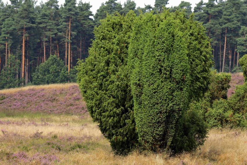 Krzew jałowca pospolitego   na żywopłot w ogrodzie i nie tylko oraz jego uprawa, choroby, pielęgnacja, stanowisko