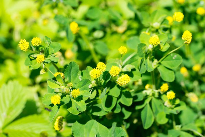 Lucerna nerkowata inaczej lucerna chmielowa w okresie kwitnienia na żółto, a także jej siew, uprawa oraz pielęgnacja krok po kroku