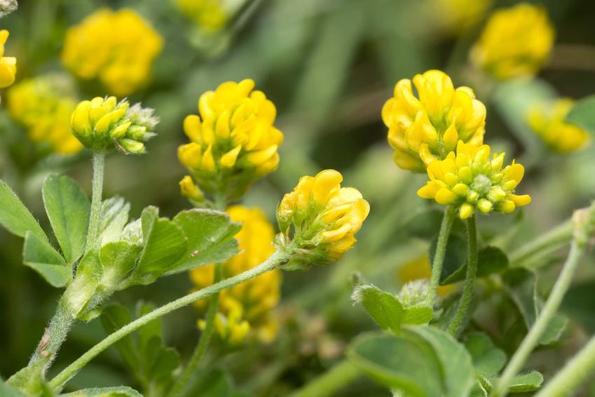 Lucerna nerkowata inaczej lucerna chmielowa w okresie kwitnienia na żółto oraz jej uprawa i pielęgnacja