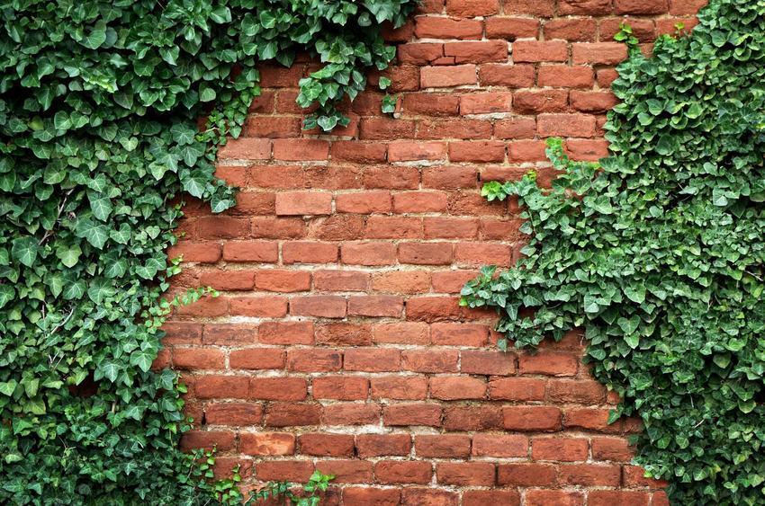 Bluszcz zimozielony czy też bluszcz całoroczny na tle ściany z cegieł oraz bluszcz pospolity i jego uprawa i pielęgnacja