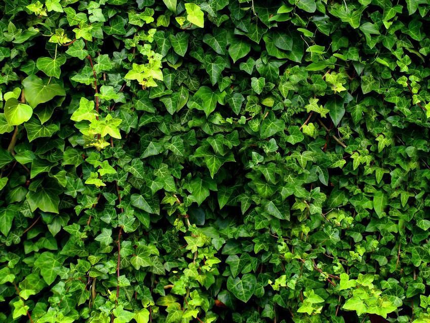 Bluszcz irlandzki zimozielony z łaciny Hedera hibernica w ogrodzie oraz jego uprawa i pielęgnacja