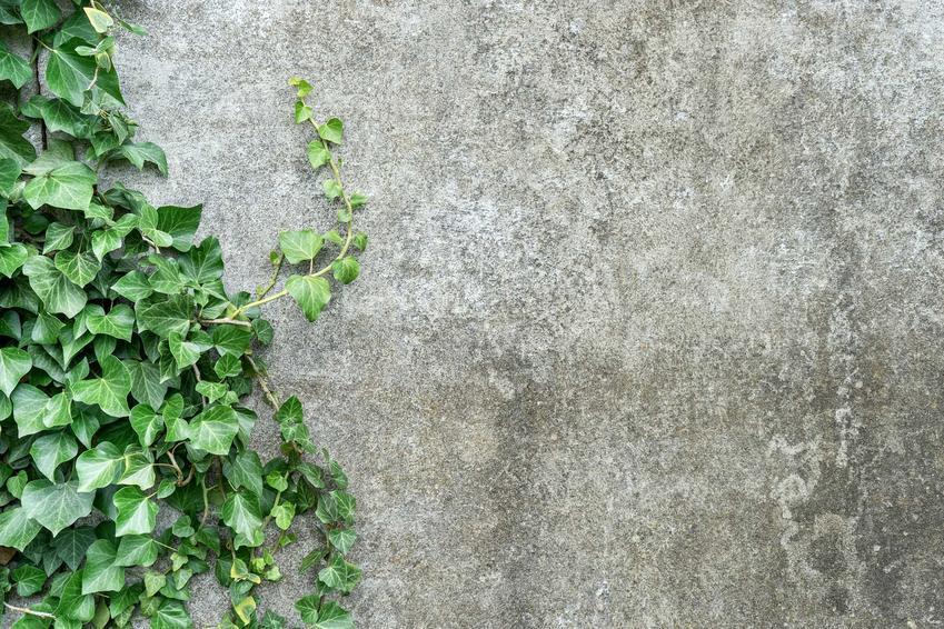 Bluszcz irlandzki zimozielony z łaciny Hedera hibernica na tle betonowej ściany oraz jego uprawa i pielęgnacja