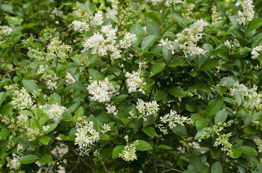 Ligustr pospolity czy też ligustr zwyczajny w czasie kwitnienia jako krzewy na żywopłot, czyli żywopłot z ligustra pospolitego w ogrodzie