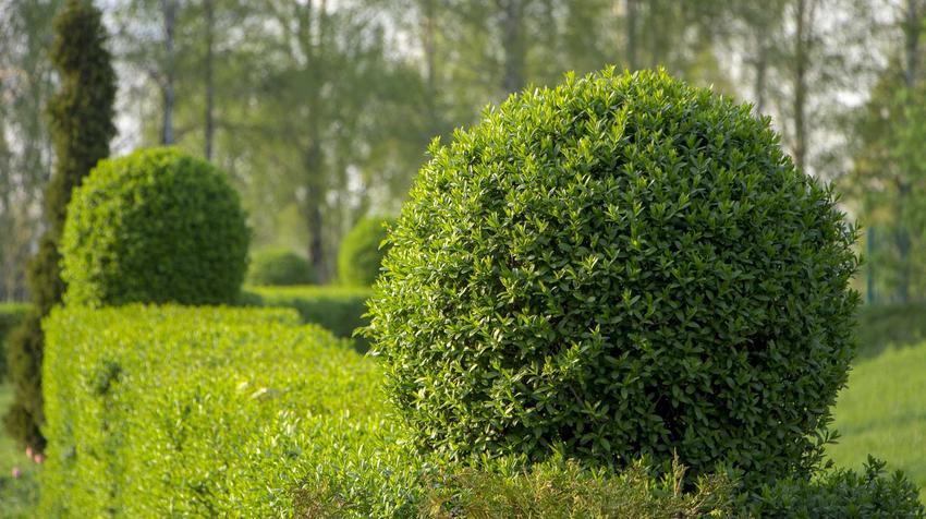 Ligustr pospolity czy też ligustr zwyczajny jako idealne krzewy na żywopłot, czyli żywopłot z ligustra pospolitego