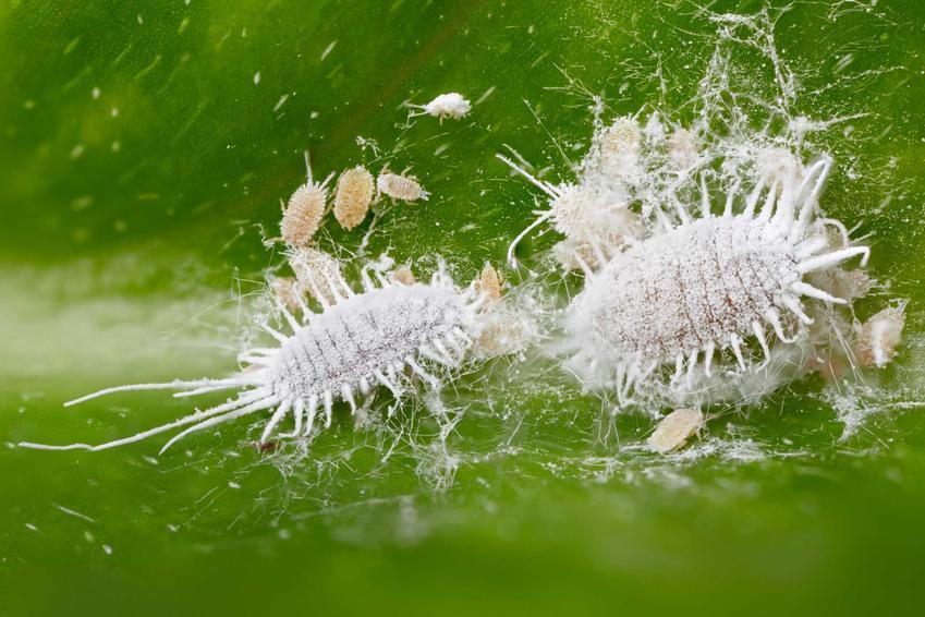 Wełnowce w powiększeniu atakujące rośliny doniczkowe oraz porady, jak zwalczyć wełnowce różnymi sposobami