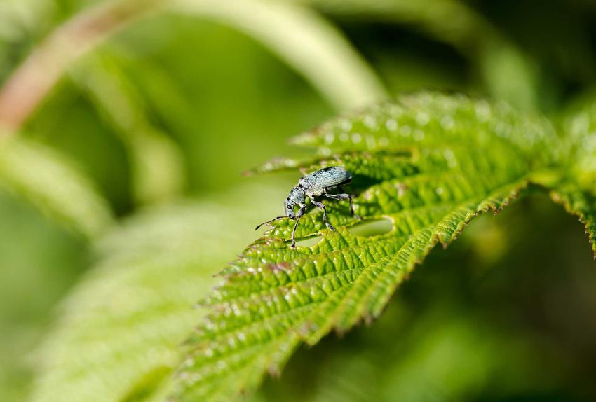 Opuchlaki na liściu, na przykład opuchlak truskawkowiec czy opuchlaki na rododendronach oraz zwlczanie opuchlaków