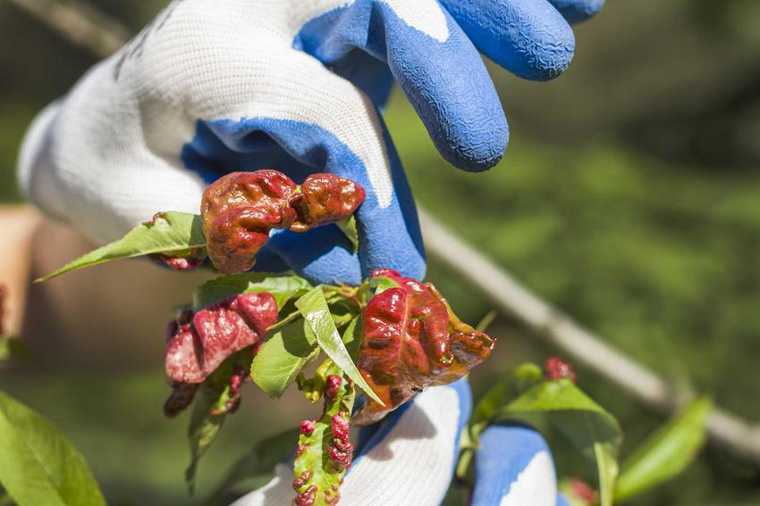 Kędzierzawość liści brzoskwini i inne choroby brzoskwini, a także metody i sposoby zwalczania ekologicznego i opryski