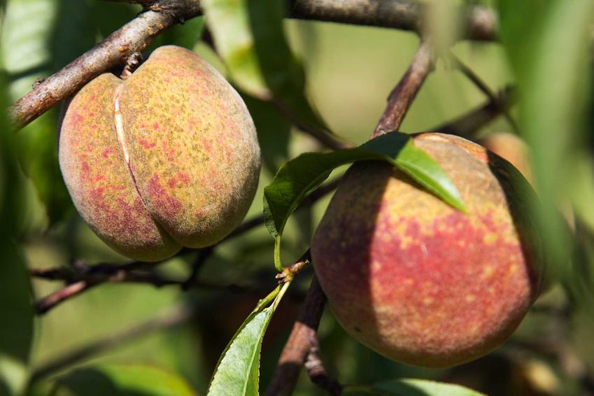 Choroby brzoskwini na owocach, a także kędzirzawość liści brzoskwini oraz sposoby zwalczania chorób tych drzew owocowych