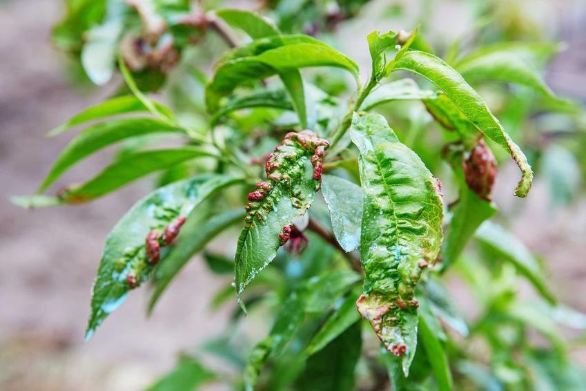 Kędzierzawość liści brzoskwini, a także inne choroby brzoskwini i szkodniki oraz sposby zwalczania chorób i szkodników drzew owocowych
