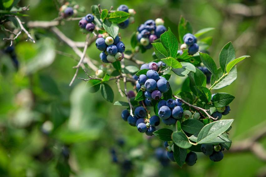 Borówka amerykańska Bluecrop dojrzewająca na krzewie oraz borówka Bluecrop i jej uprawa, a także odmiany