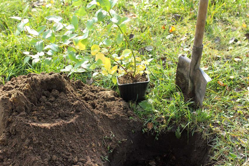 Sadzonki borówki amerykańskiej przygotowane do sadzenia oraz cena borówki amerykańskiej w skupie i nie tylko