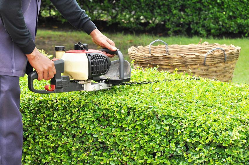 Nożyce do żywopłotu podczas przycinania krzewów oraz polecane elektryczne nożyce i spalinowe nożyce do żywopłotu