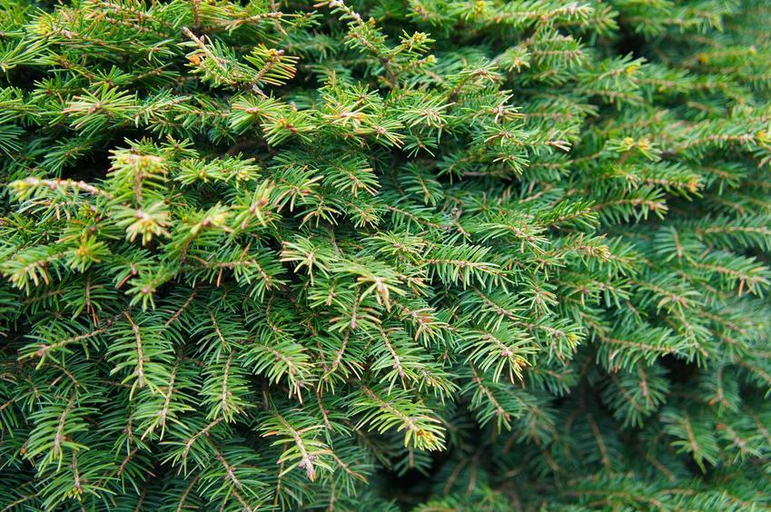 Świerk inversa w ogrodzie, inaczej świerk pospolity lub świerk płaczący oraz jego uprawa i pielęgnacja