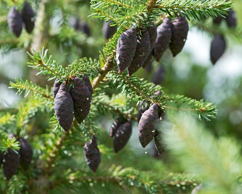 Świerk czarny z łaciny Picea mariana oraz jego wymagania, uprawa, pielęgnacja i przycinanie w ogrodzie krok po kroku