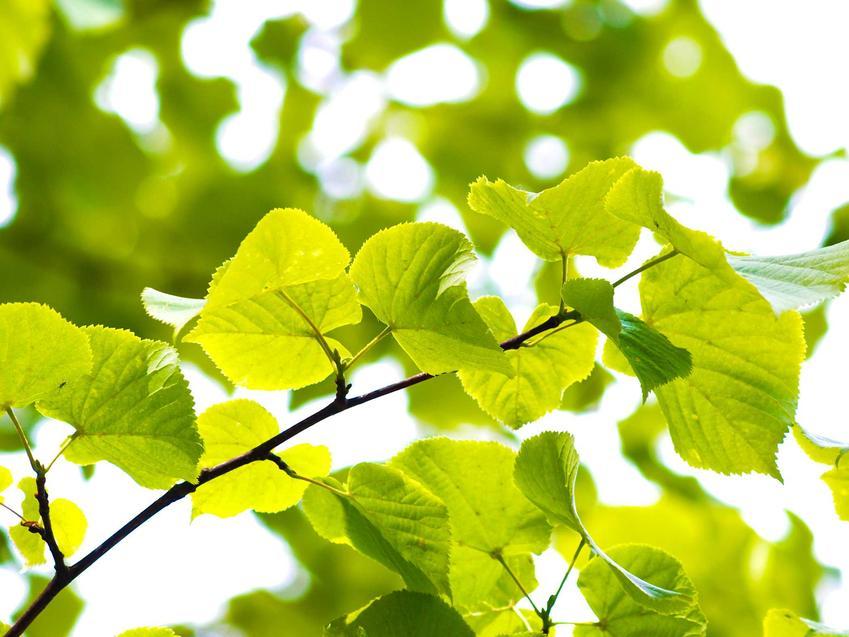 Topola osika lub topola drżąca, z łaciny Populus tremula oraz jej wyeksponowane liście, a także uprawa i pielęgnacja